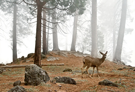 "#29 ""Yosemite Deer""